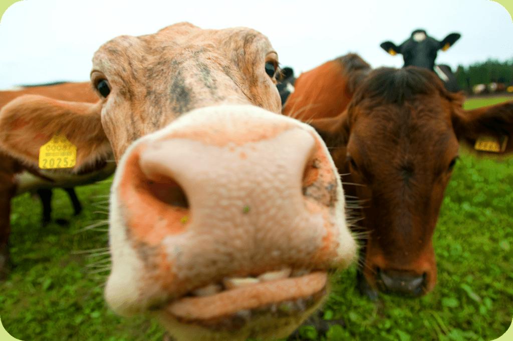 lehmad-tule-vaata-talu