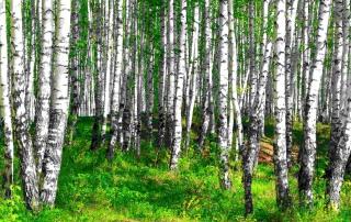 estonia-birch-sap-organic